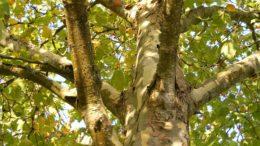 Baum (Platane)